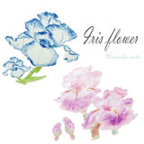 Watercolor floral summer,spring background.Iris floral decorati Stock Image