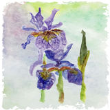 Watercolor floral summer,spring card.Iris floral decorative. Royalty Free Stock Photos