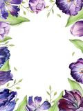 Watercolor floral tulip backgraund. Isolated colorful spring illustration. Watercolour violet tulip plant. Purple royalty free illustration