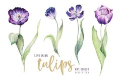 Watercolor floral tulip. Isolated colorful vector illustration