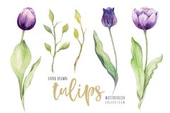 Watercolor floral tulip. Isolated colorful royalty free illustration