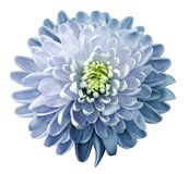 Watercolor flower chrysanthemum white-blue on a white isolated background with clipping path. Nature. Closeup no shadows. Garden. Flower stock photo