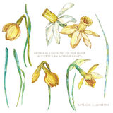Watercolor flower elements. Narcissus Royalty Free Stock Photography