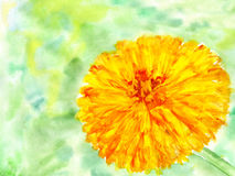 Watercolor flower marigold Royalty Free Stock Photo