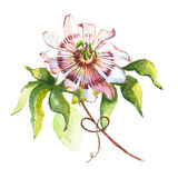Watercolor flower passiflora Stock Photos