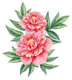 Watercolor flower peony pink green leaves decorative vintage illustration isolated on white background