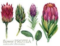 Watercolor flower Protea illustration. Watercolor flower Protea set illustration isolate on white background stock illustration