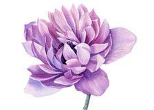 Free Watercolor Flower. Purple Anemone. Botanical Illustrations. Royalty Free Stock Image - 219284886