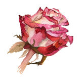 Watercolor flower. Rose Royalty Free Stock Photography