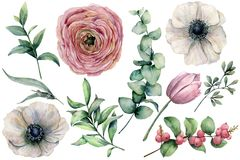 Watercolor flower set with eucalyptus leaves. Hand painted anemone, ranunculus, tulip, berries and branch isolated on. White background. Natural illustration stock illustration