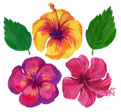 Watercolor flower set of hibiscus Royalty Free Stock Image