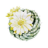 Watercolor flowering cactus Stock Images
