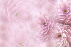 Watercolor flowers on blurry pink background . Pink-white  flowers chrysanthemum.  floral collage.  Flower composition. Royalty Free Stock Photos