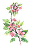 Watercolor Flowers. Flowering branch with pink flowers. Watercolor royalty free illustration