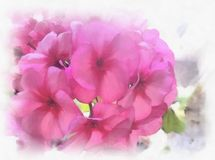 Watercolor flowers geraniums. Watercolor flowers geraniums. Beautiful watercolor background for your website, banners, covers  Royalty Free Stock Images