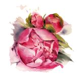 Watercolor flowers. Peonies. Royalty Free Stock Photos