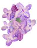 Watercolor flowers of lilac Royalty Free Stock Photo