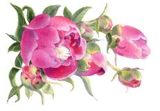 Watercolor flowers. Peonies. Royalty Free Stock Photography