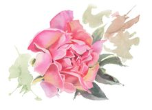 Watercolor flowers. Peonies. Royalty Free Stock Images