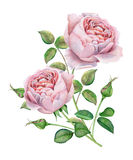Watercolor flowers. Pink roses Royalty Free Stock Photos