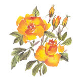 Watercolor flowers. Roses Stock Photography
