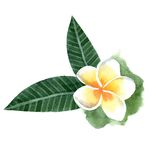 Watercolor frangipani flower Royalty Free Stock Photo