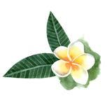 Watercolor frangipani flower Royalty Free Stock Photo