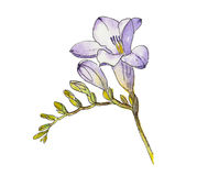Watercolor of freesia flower. Watercolor and ink hand painted picture of purple freesia flower vector illustration