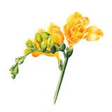 Watercolor freesia flowers on white background Stock Image