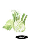 Watercolor fresh fennel  on white background. Kitchen herbs and spices banner. Hand painted illustration of healthy organic food. Series of ingredients for Stock Images