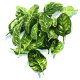 Watercolor fresh leaves of spinach Royalty Free Stock Image