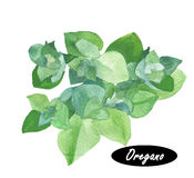 Watercolor fresh oregano sprigs Royalty Free Stock Images