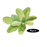Watercolor fresh-picked marjoram  on white background Stock Images