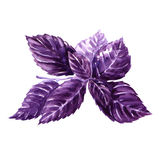 Watercolor fresh violet basil isolated Stock Image