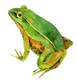 Watercolor frog illustration. Watercolor green frog on white background. hand painted illustration royalty free illustration