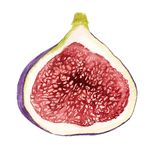 Watercolor fruit of fig. Watercolor image of fruit of fig on white background Royalty Free Stock Photo