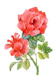 Watercolor garden blooming red roses illustration  on white background. Royalty Free Stock Photo