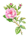 Watercolor garden blooming red roses illustration  on white background. Watercolor garden blooming red roses illustration  on white background Royalty Free Stock Image
