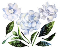 Watercolor gardenia set Royalty Free Stock Image