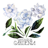 Watercolor gardenia set Stock Photography