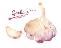 Watercolor garlic. Royalty Free Stock Photo
