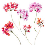Watercolor geranium floral set Royalty Free Stock Image