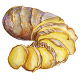 Watercolor ginger root. Hand draw ginger illustration. Spices object isolated on white background. Kitchen herbs and Royalty Free Stock Images