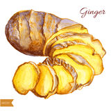 Watercolor ginger root. Hand draw ginger illustration. Spices vector object isolated on white background. Kitchen herbs Royalty Free Stock Photography