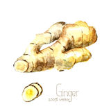 Watercolor ginger root. Hand draw ginger illustration. Spices vector object  on white background. Kitchen herbs and spices banner Royalty Free Stock Image