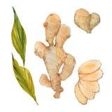 Watercolor ginger root. Ginger root, watercolor illustration  on white background Stock Photos