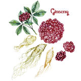 Watercolor ginseng root and berries Stock Photos