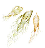 Watercolor ginseng root. On white background. Natural spices Stock Image