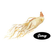 Watercolor ginseng Stock Photo
