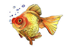Watercolor golden fish, hand painted drawing of outline. Isolated on white background Royalty Free Stock Photography